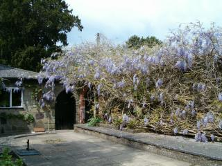 Visit us when the Wisteria is at its most magnificent in May. This shrub has been showing off  its beauty since at least the 19th Century